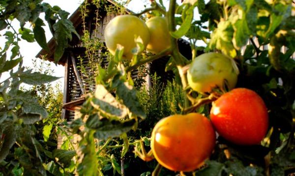 Organski paradajz
